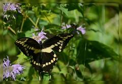 [^] Giant Swallowtail Butterfly - I. [^] (Wolverine09J ~ 1.7 Million Views) Tags: butterfliesandblossomsaug18 giantswallowtail insect feeding summertime finegold attractive nature flora naturesgallery livingjewelsofnature level1thewondersofnature butterfliesdragonfliesoftheworld lefarfallefiorivolanti batslair spiritofphotography