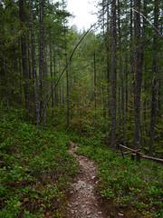 Pyramid Lake Trail (Dendroica cerulea) Tags: trail trees conifer pine forest pyramidlaketrail nationalpark summer northcascadesnationalpark northcascades cascades whatcomcounty wa washington