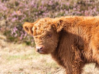 Highland Calf, Derbyshire Peak District.