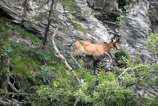 Camoscio alpino - Rupicapra rupicapra