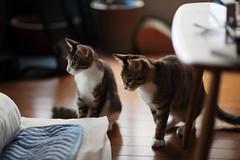 [ハチマロ通信] 僕の手を攻撃するために集まるハチマロ (moriyu) Tags: japan tokyo nikon d700 cat 猫 ニコン 東京