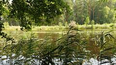 At the Balžis Lake 33 (rimasjank) Tags: lake reed reflection foliage forest
