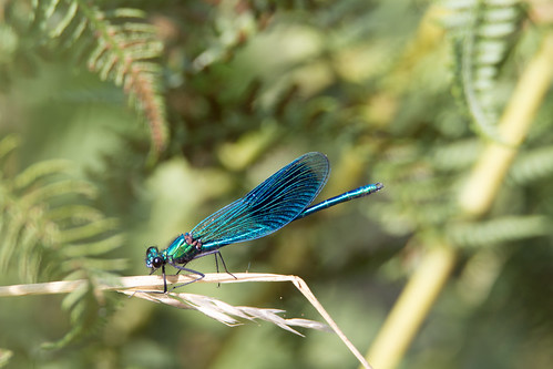 Banded Demoiselle male (Calopteryx splendens) - Culm River, Cullompton, Devon - 13 July 2018