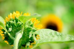 夏の情景 #3ーSummer scene #3 (kurumaebi) Tags: yamaguchi 秋穂 山口市 nikon d750 nature landscape ヒマワリ カエル 夏 summer frog sunflower