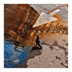 jour de pluie, le pigeon (Marie Hacene) Tags: paris pluie flaque reflets pigeon flèche