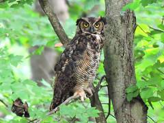 Great Horned Owl, 2018, 08-17 (John Frattura) Tags: greathornedowl owl ridleycreekstatepark edgemont philadelphia pennsylvania august 2018 summer