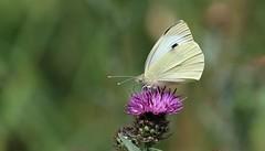 Large White Butterfly        (Pieris brassicae) (nick.linda) Tags: knapweed canon100400 canon7dmkii largewhitebutterfly pierisbrassicae butterflies wildandfree lowbarnsnaturereserve durhamwildlifetrust ukwildlifetrusts