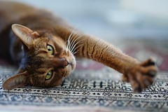 Lizzie relaxing on the Carpet (DizzieMizzieLizzie) Tags: sony ilce7m3 sigma 50mm f14 dg hsm | art 018 abyssinian aby lizzie dizziemizzielizzie portrait cat feline gato gatto katt katze kot meow pisica neko gatos chat ilce 2018 bokeh hot summer night sonya7miii oriental carpet relaxing pet sport