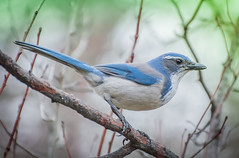 Scrub Blue. (Omygodtom) Tags: wildlife scrubjay bird portrait art abstract branch oaksbottom nikon70300mmvrlens dof bokeh usg 7dwf scene