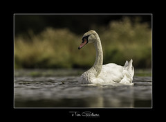 Swanning around (timgoodacre) Tags: swan swans swimming water waterfowl waterbird waterdrops bird birds birdportrait wildbird ngc nature wildlife wildanimal wildfowl