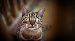 Max (Arnez_) Tags: cats pets bengal portrait animals orange beyondbokeh explore