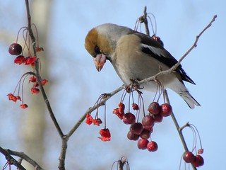 Hawfinch, Coccothraustes coccothraustes, Дубонос