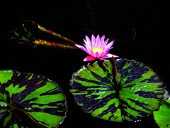 The Lily and the Leaves (Stanley Zimny (Thank You for 32 Million views)) Tags: flower botanical garden lily waterlily red beauty leaf leaves pink