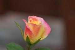 Wet Yellow and Pink Rose Flower (Anton Shomali - Thank you for over 1 million views) Tags: hot summer'sflowers summer nature beautiful beauty yellow flower pink wet rose bicolour bi colour wetyellowandpinkroseflower garden rain backyard backyardflower sony slta77v