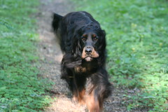 Shaggie 133 (reimo.zoober) Tags: gordon setter dog