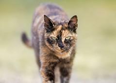 'Torte Cat at PACT' (Jonathan Casey) Tags: torte tortoiseshell pact animals sancuary norfolk nikon d850 400mm f28 vr