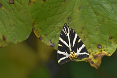 Jersey Tiger (Euplagia quadripunctaria) (Andrew Cooper Photography) Tags: august beautiful closeup colourful dorset detail green geotagged geotag leaf lepidoptera macro macrophotography macrophotograph macrophoto nature natural naturephotography naturelover photography photooftheday pattern summer texture tags uk unitedkingdom vivid wildlife wildlifephotography wild wings white yellow bw blackandwhite