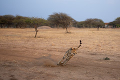 L1009228 (Ivan Lau) Tags: namibia cheetahconservationfund