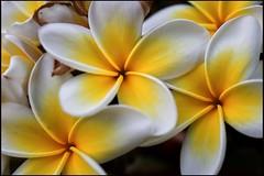 (David Gilson) Tags: nikkor nikon closeup outdoors nature garden blossom petals flower