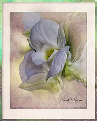 Enrapture my Soul (Visions by Vincent) Tags: orchids flowers florida topaz art