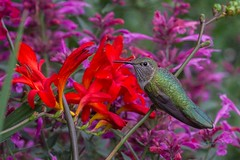 IMG_9410 broadtail hummingbird (starc283) Tags: broadtail hummingbird starc283 flicker flickr nature bird birding macro animal flower tropical flora floral