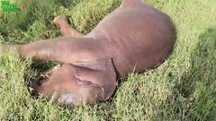 Beautiful and adorable baby elephant wants to swim (THE WILD ELEPHANT) Tags: huge elephant rescue video youtube quite baby funny kids videos the wild wildlife news tv