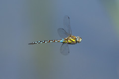 K32P9263c Migrant Hawker, Lackford Lakes, July 2018 (bobchappell55) Tags: lackfordlakes suffolk nature wild wildlife dragonfly migranthawker aeshnamixta