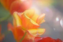My Secret Garden... (NikonEssex) Tags: secret secretgarden rose wildflower wildroses roses flower sunbeam garden wild home beautiful simplebeauty bokeh light bokehlicious love august wildflowers macro creativephotography fineart nikon sunlight nikond750 70200mm sigmamacro f28