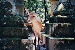 Efiniti Uxi 200 | Contax T2 | Nara, Japan (Guineverececi) Tags: deer travel japan nara film contaxt2 contax