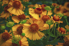 Lovely flowers ... (Julie Greg) Tags: flower flowers nautre colours details garden park sneezeweeds helenium