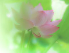 Lotus (Tomo M) Tags: 蓮 light nature 薬師池公園 petal pentacon pastel dreamy soft