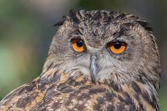 Uhu (Bubo bubo) (Matthias.Kahrs) Tags: uhu bubo northern eagle owl vögel vogel bird birds tier matthiaskahrs natur outdoor wildlife tiefenschärfe schärfentiefe closeup canon 5d canoneos5dmarkiv canon5dmarkiv sigma 150600mm sigma150600mm sigma150600mmf563dgoshsms sigma150600mmf563dgoshsmsports matthias kahrs