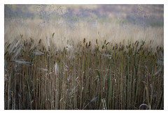 im Feld, bei 27° Celsius (glasseyes view) Tags: glasseyesview farmland tevernerheide texture heath summerday weather hot