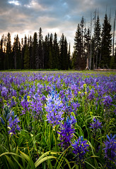 Packer Meadows 2018 (ebhenders) Tags: packer meadows lewis clark camas flowers clearwater national forest lolo pass montana idaho