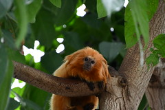 Golden Tamarin (michael_orr25) Tags: nikond7500 aquarium