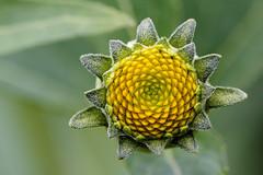 Sonnenhut (jörgpreusser) Tags: blume blumen blüte blüten makro macro yellow