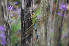 Libelle (cornelia_auguste) Tags: corneliaauguste düsseldorf deutschland einzigartigkeit farben germany insekt libelle moment makro nrw outdoor tierfotografie zaun