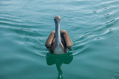 Belize   Caye Caulker • Pelican (Cyrielle Beaubois) Tags: 2018 belize cyriellebeaubois unbelizable centralamerica cayecaulker island bird pelican pelicano water canonef24105mmf4lisusm canoneos5dmarkii