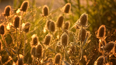 Sun, Sun, Sun, Sun (Alfred Grupstra) Tags: nature plant summer field outdoors yellow grass ruralscene meadow agriculture closeup growth flower beautyinnature sunlight sunset backgrounds springtime nopeople seed