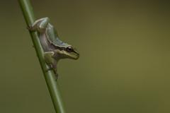 Boomkikker - Eurasian Treefrog (KarsKW) Tags: awd boomkikker leuk sochtends wow goe dzeg