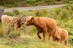 Frisky Highland Lasses (Keith in Exeter) Tags: frisky highland cow cattle livestock lassie farm animal field moor grass rushes calf horns hairy road bridge