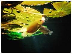 Into the Light #underwater #onderwater #fish #fishes #vis #vissen #animalphotography #lovephotography #photography #photographer #fotograaf #fotografie (Chantal vander Reijden) Tags: vis lovephotography fotografie animalphotography fotograaf vissen fish onderwater underwater photographer fishes photography
