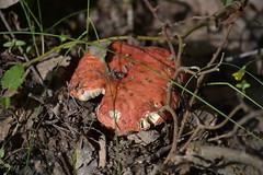 Seta roja (esta_ahi) Tags: torrellesdefoix torrentdalbereda penedès barcelona spain españa испания bolet seta fungi russula lloravermella