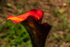 1806215962 (dallasjones) Tags: flower flowers plant lily calla