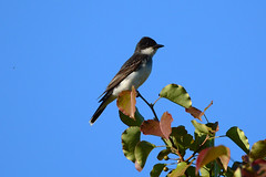 Eastern Kingbird (Astral Will) Tags: bird flycatcher kingbird easternkingbird leaves