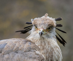 angry bird (maar73) Tags: secretarisvogel sagittariusserpentarius blijdorp zoo maar73 nikond7500 tamron10004000mmf4563 bird angry roofvogel secretarybird