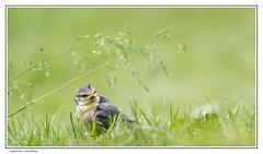 Where are my parents? (Dieter Gora) Tags: cyanistescaeruleus paruscaeruleus blaumeise jungtier jungvogel parents child squab youngbird lost generation lostgeneration alone loneliness notforgotten