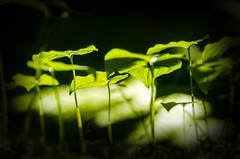 Flora (Steve Corey) Tags: flora plants light forest greenalaska dark rainforest