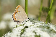Laeosopis roboris (Esper, 1793) (ajmtster) Tags: macro invertebrados mariposas mariposa lepidopteros licenidos lycaenidae laeosopisroboris moradilladelfresno butterfly butterflies