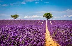 Lavender landscape (j2psphoto) Tags: lavender landscape provence lavande canon 5dmarkiv 5d markiv 2470